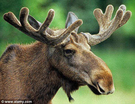 moose mopsy.jpg
