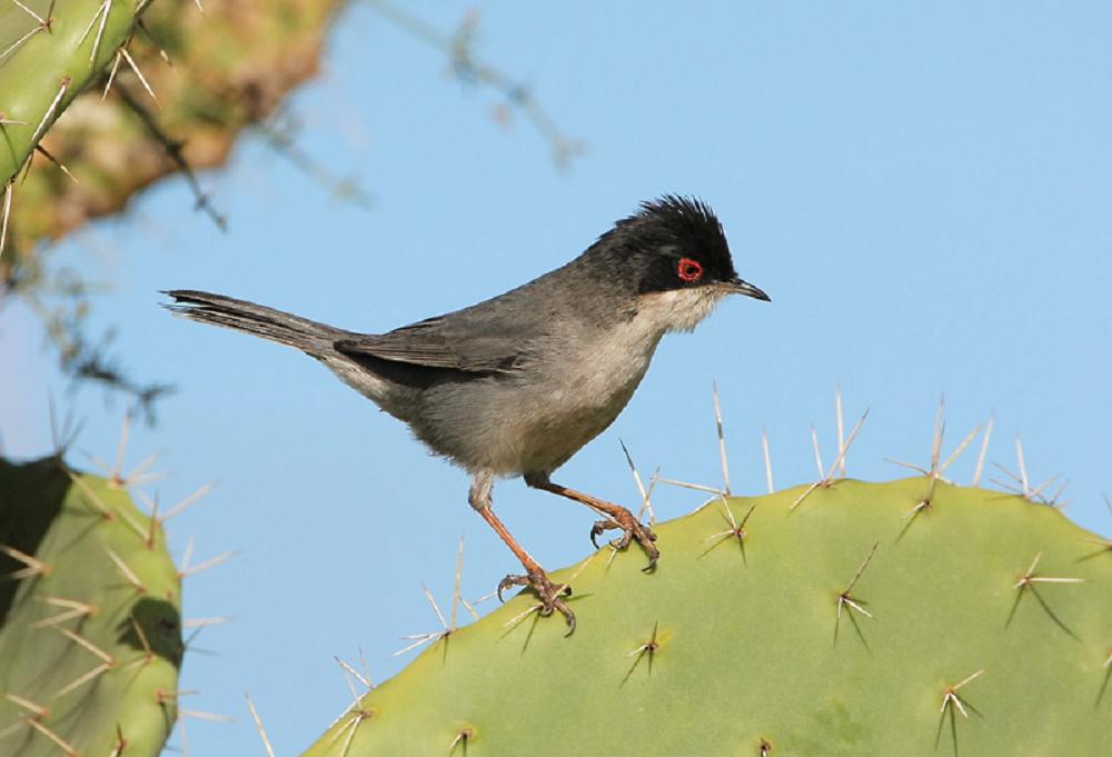 Sardinian Warbler.png
