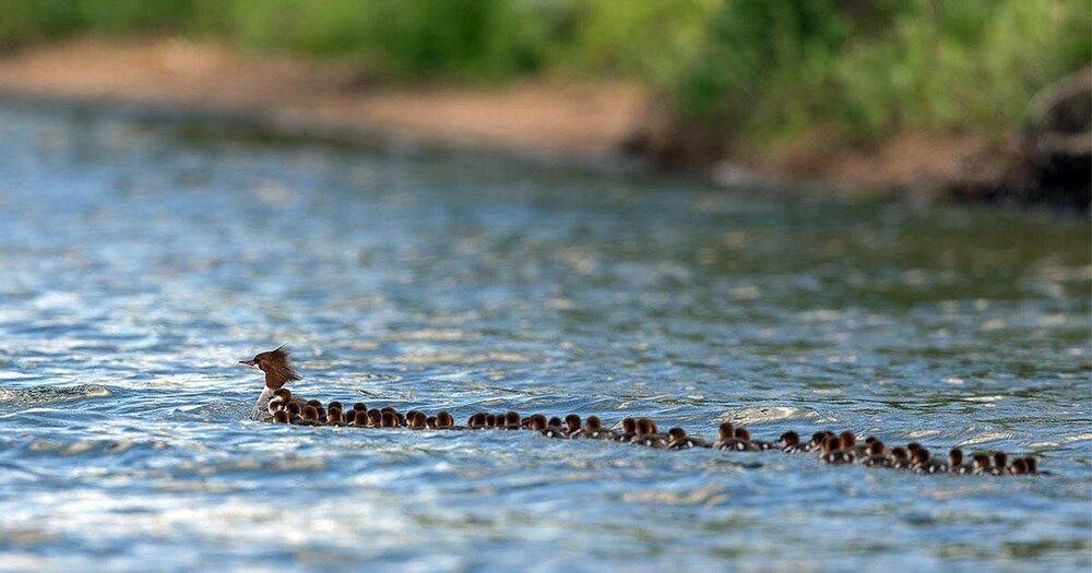 minn_duck_mom.thumb.jpg.005acab45591b05c4864442565e49585.jpg