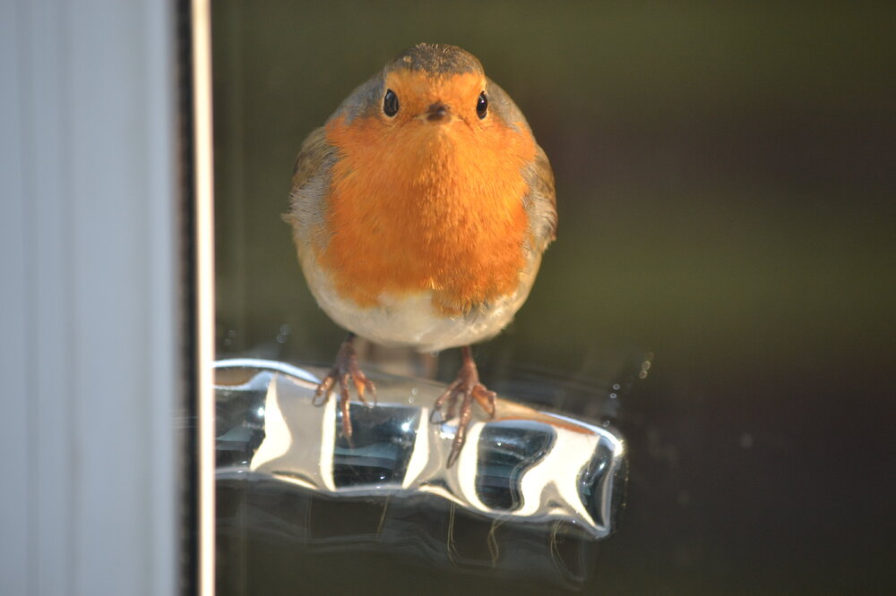 Not as agood a pic, but this little chap kept us amused last year, by constantly pecking our back door as he attacked his own shadow,