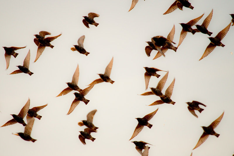 _DSC3734-starlings.jpg.3aefb4a35f40f3e07e9bf0cea0795222.jpg