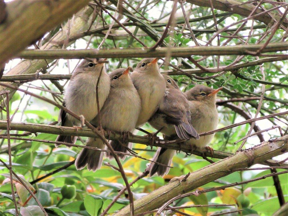 soul Chiffchaffs on a twig (2)