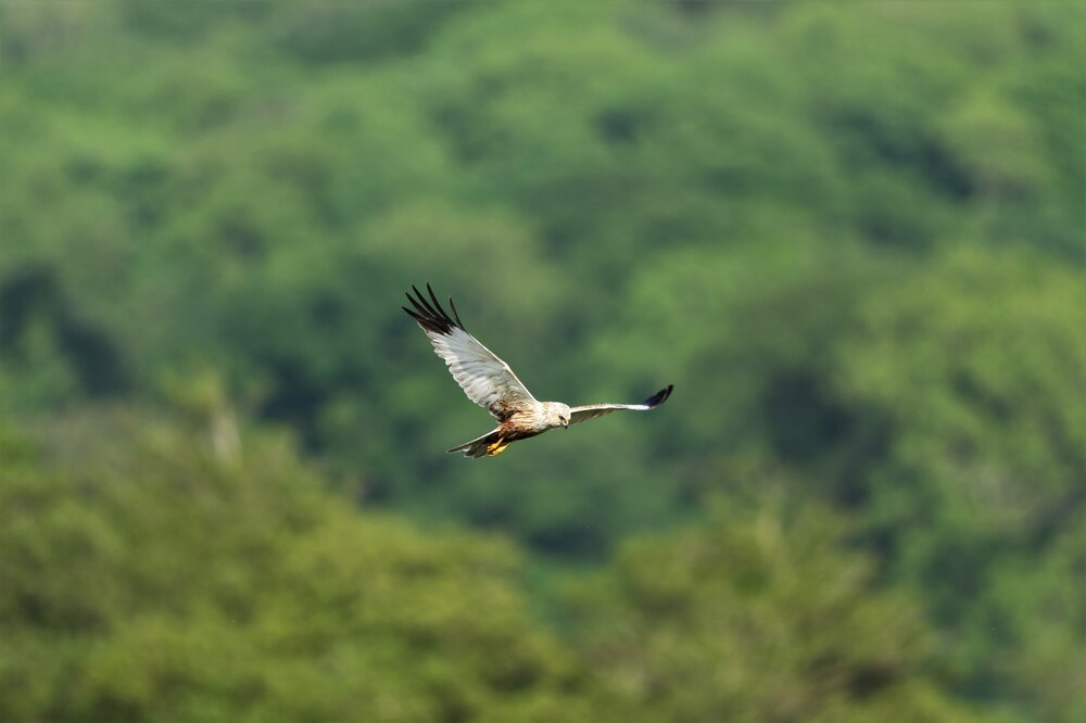 Marsh Harrier 3.jpg