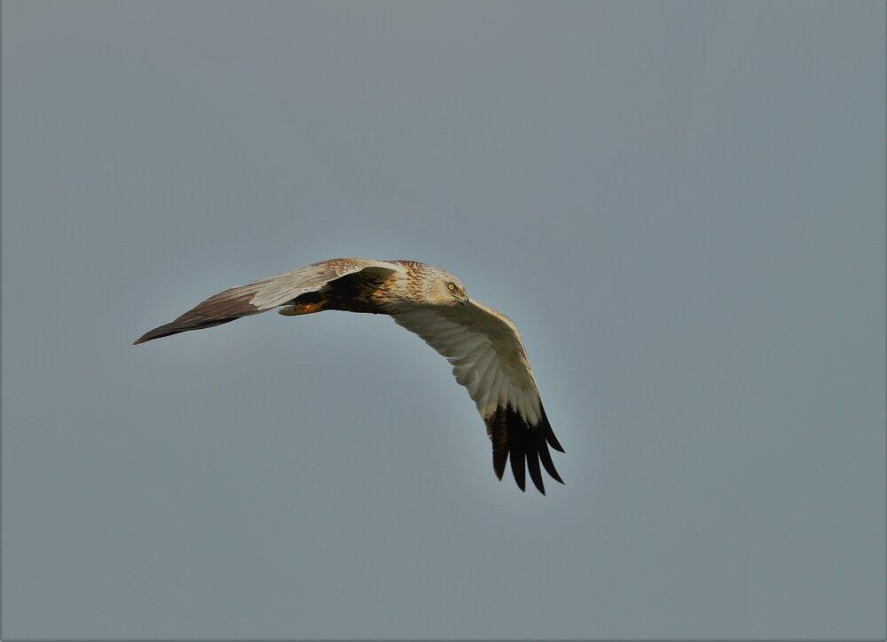 Marsh Harrier (2).jpg