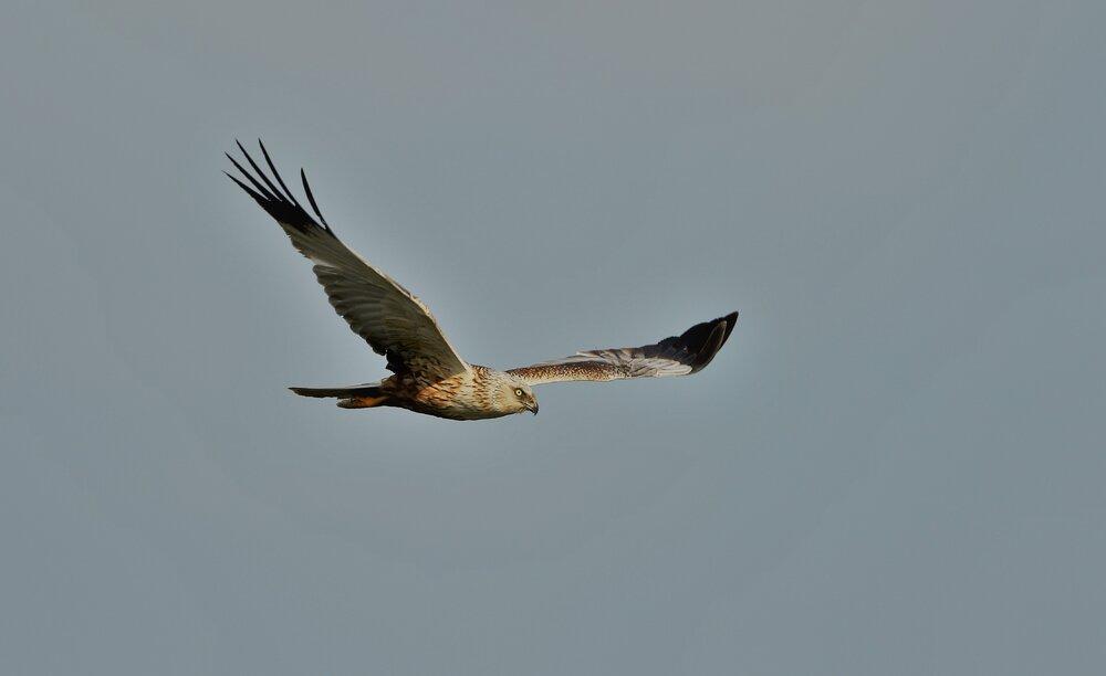 Marsh Harrier 2 (2).jpg