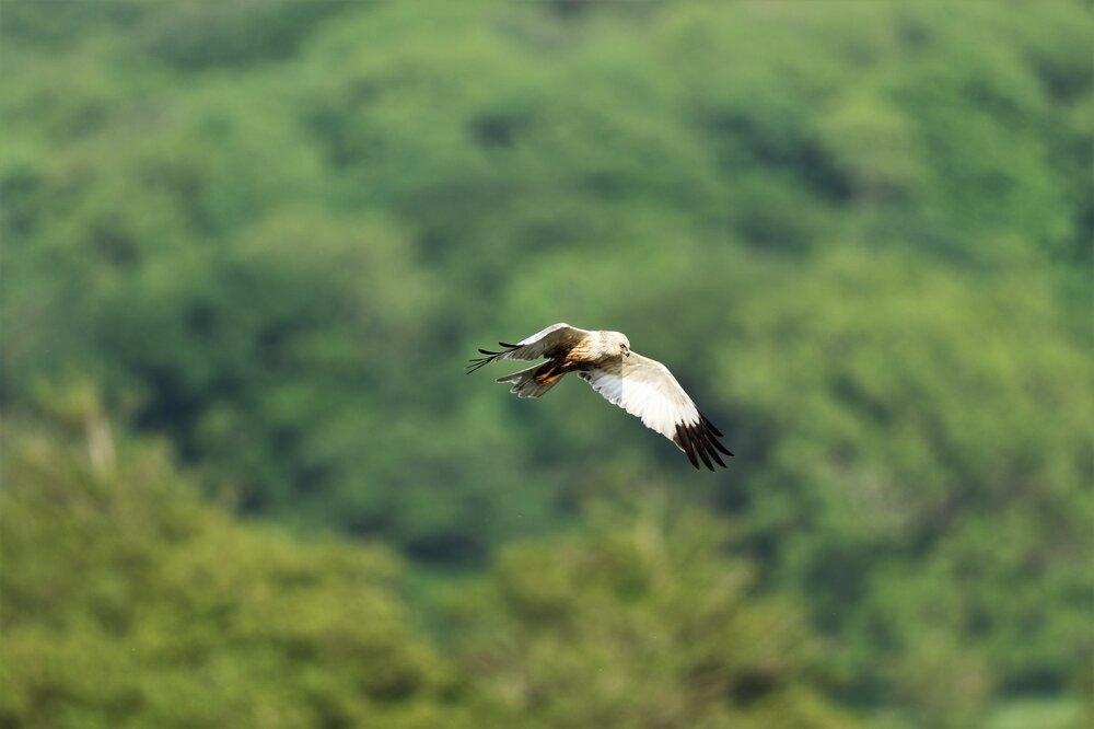 Marsh Harrier 3 B.jpg