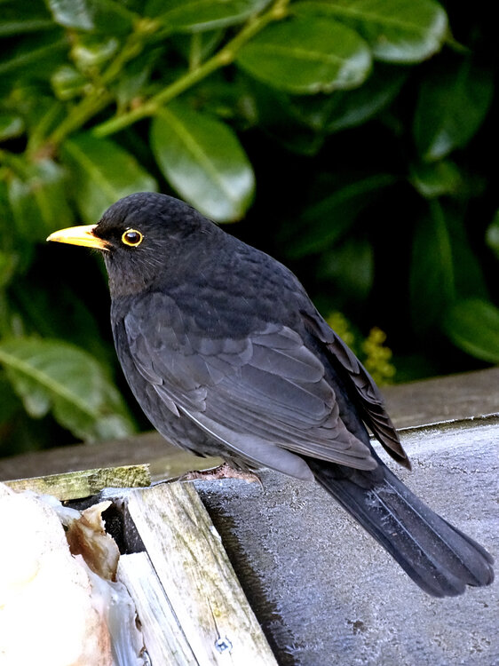 Blackbird.thumb.jpg.6fe89e54c5e781d85dd56b472c34f63f.jpg
