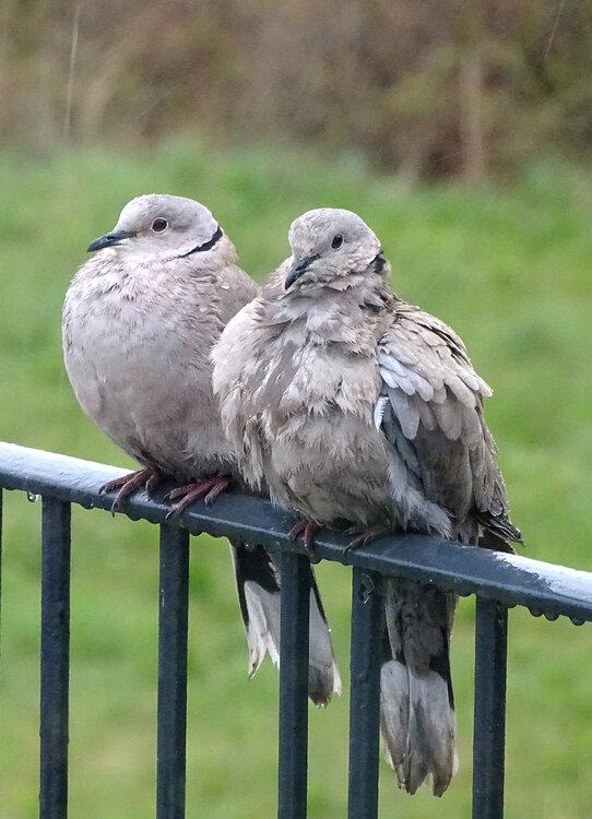 Doves.thumb.jpg.f49b955da3a57f3569e2a4191122aa0f.jpg